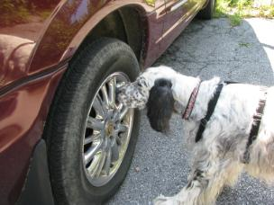 English setter dog doing scent detection nose work vehicle search